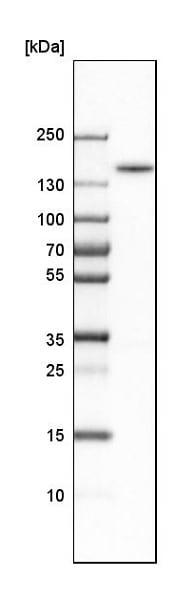 Western blot - Anti-FMNL1 antibody (ab224247)
