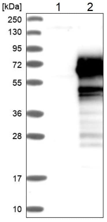 Western blot - Anti-PNMAL1 antibody (ab224258)