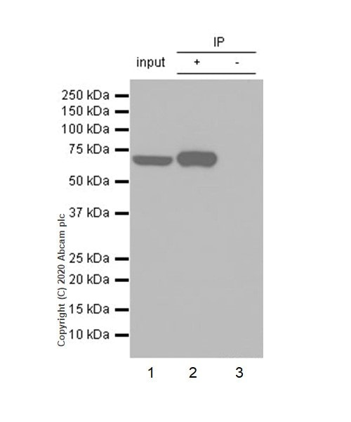 Immunoprecipitation - Anti-MMP8 antibody [EP1252Y] - Low endotoxin, Azide free (ab224265)