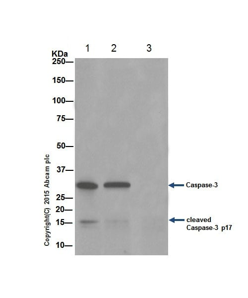 Immunoprecipitation - Anti-Caspase-3 antibody [EPR18297] - BSA and Azide free (ab224271)