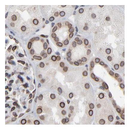 Immunohistochemistry (Formalin/PFA-fixed paraffin-embedded sections) - Anti-Nesprin 2 antibody (ab224328)
