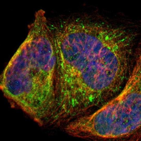 Immunocytochemistry/ Immunofluorescence - Anti-AL5 antibody (ab224329)