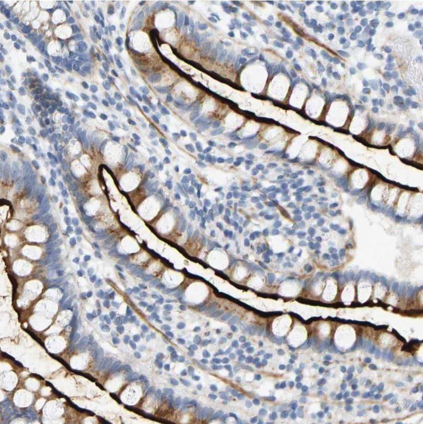 Immunohistochemistry (Formalin/PFA-fixed paraffin-embedded sections) - Anti-ZnT-7 antibody (ab224405)