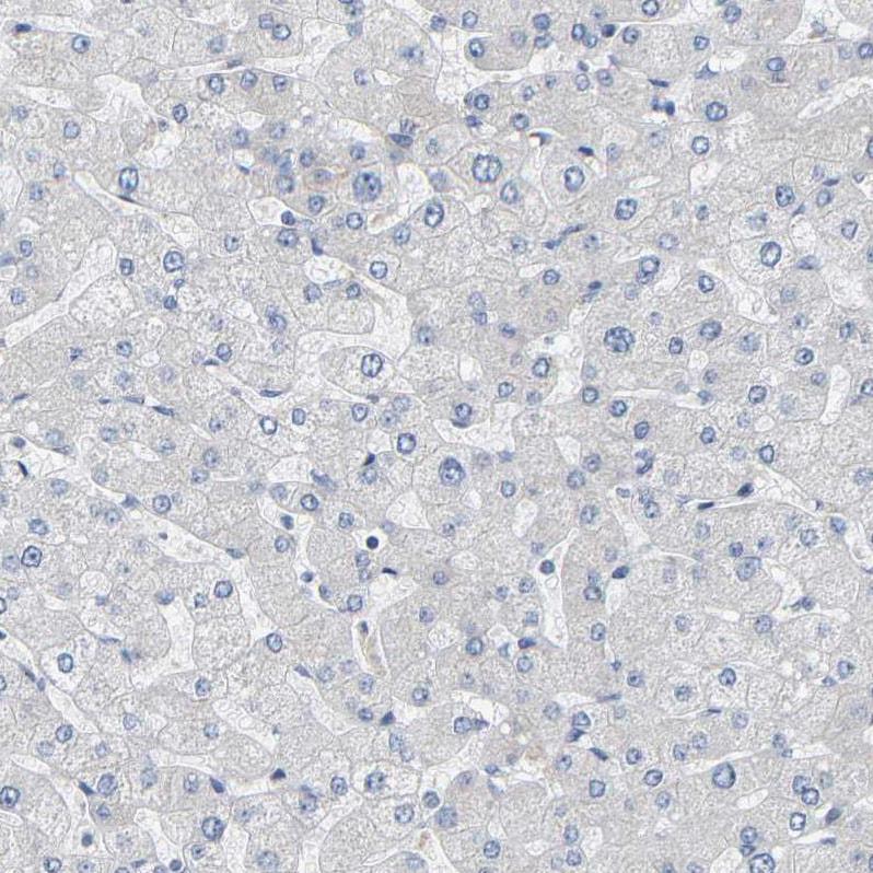 Immunohistochemistry (Formalin/PFA-fixed paraffin-embedded sections) - Anti-Pericentrin antibody (ab224423)