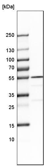 Western blot - Anti-SHMT2/SHMT antibody (ab224427)