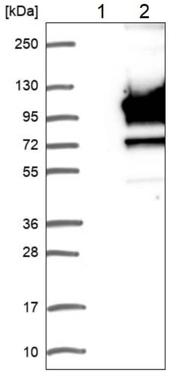 Western blot - Anti-LRSAM1 antibody (ab224433)