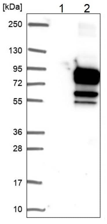Western blot - Anti-WDR79 antibody (ab224444)