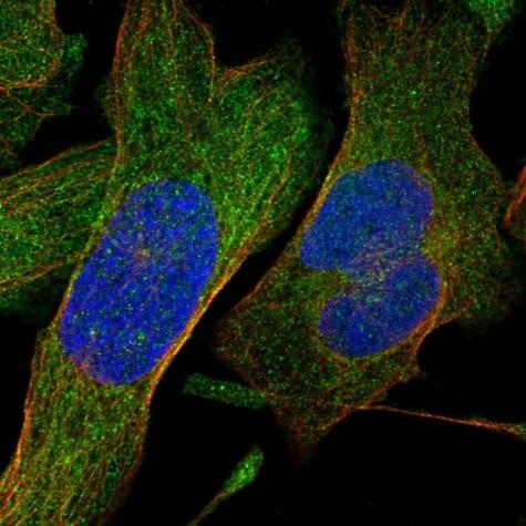 Immunocytochemistry/ Immunofluorescence - Anti-SHMT1 antibody - N-terminal (ab224445)