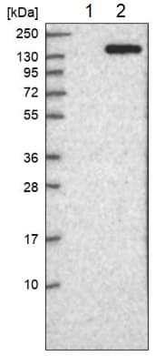 Western blot - Anti-RPS6KC1 antibody (ab224469)