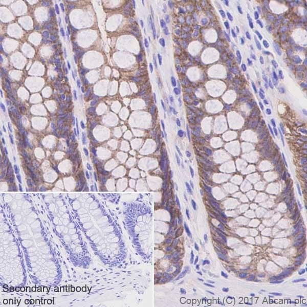 Immunohistochemistry (Formalin/PFA-fixed paraffin-embedded sections) - Anti-Occludin antibody [EPR20992] - BSA and Azide free (ab224526)