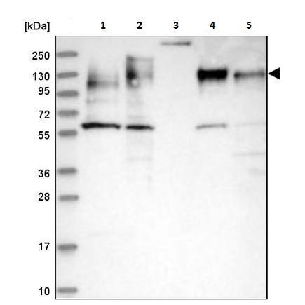 Western blot - Anti-MAP4 antibody (ab224543)