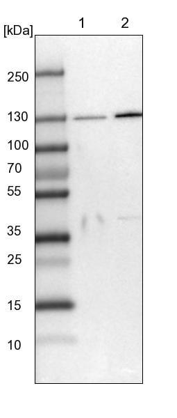 Western blot - Anti-SEC23IP antibody (ab224546)