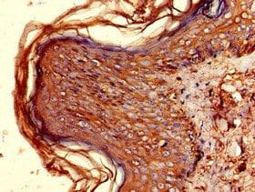 Immunohistochemistry (Formalin/PFA-fixed paraffin-embedded sections) - Anti-HLA-DQB1 antibody (ab224600)