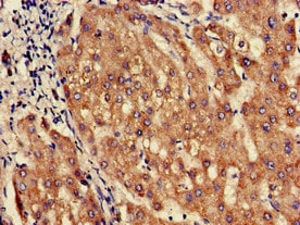 Immunohistochemistry (Formalin/PFA-fixed paraffin-embedded sections) - Anti-SLC10A3 antibody (ab224604)