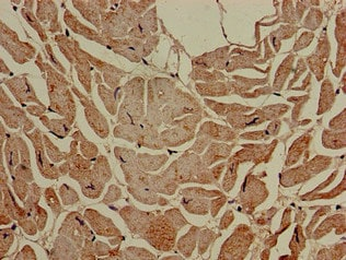 Immunohistochemistry (Formalin/PFA-fixed paraffin-embedded sections) - Anti-MCT2 antibody (ab224627)