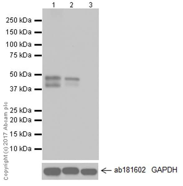Western blot - Anti-RUNX3 antibody [EPR20680] (ab224642)