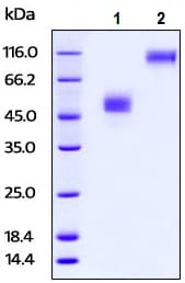 SDS-PAGE - Recombinant rabbit TIGIT protein (Fc Chimera Active) (ab224645)