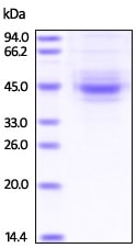 SDS-PAGE - Recombinant human TIGIT protein (Fc Chimera Active) (ab224646)
