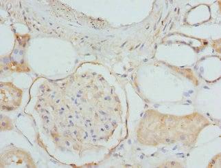 Immunohistochemistry (Formalin/PFA-fixed paraffin-embedded sections) - Anti-ETFDH antibody - C-terminal (ab224663)