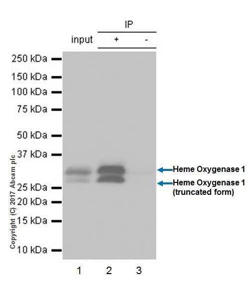 Immunoprecipitation - Anti-Heme Oxygenase 1 antibody [EPR18161-128] - BSA and Azide free (ab224677)