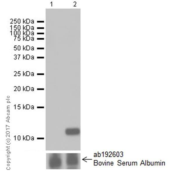 Western blot - Anti-IP10 antibody [EPR20764] - BSA and Azide free (ab224678)