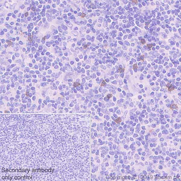 Immunohistochemistry (Formalin/PFA-fixed paraffin-embedded sections) - Anti-NCR1 antibody [EPR22403-57] (ab224703)