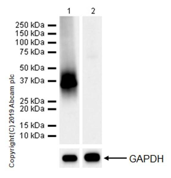 Western blot - Anti-NCR1 antibody [EPR22403-57] (ab224703)