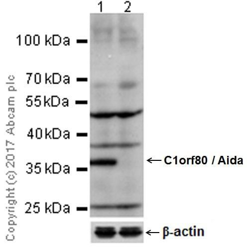 Western blot - Anti-AIDA antibody [EPR19161] - BSA and Azide free (ab224718)