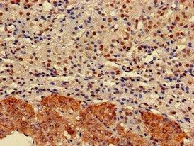 Immunohistochemistry (Formalin/PFA-fixed paraffin-embedded sections) - Anti-ELMOD2 antibody (ab224732)