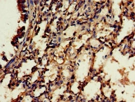 Immunohistochemistry (Formalin/PFA-fixed paraffin-embedded sections) - Anti-C18orf22/RBFA antibody (ab224741)