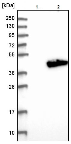 Western blot - Anti-ARH3 antibody (ab224751)