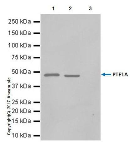 Immunoprecipitation - Anti-PTF1A antibody [EPR19011] - BSA and Azide free (ab224794)