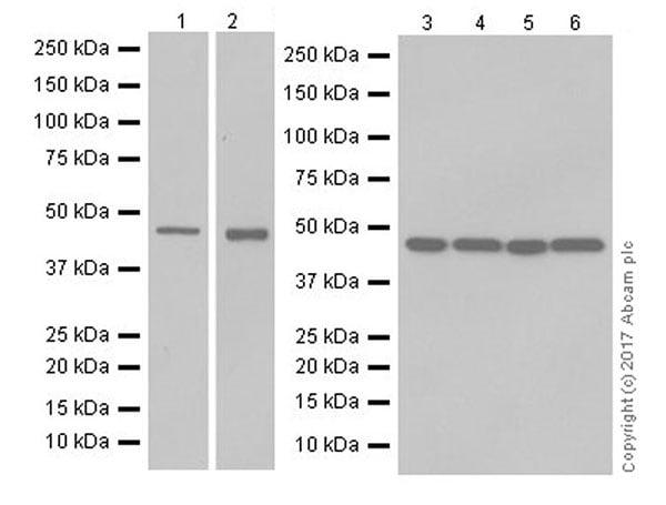 Western blot - Anti-PTF1A antibody [EPR19011] - BSA and Azide free (ab224794)