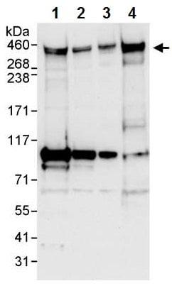 Western blot - Anti-CENPF antibody (ab224813)