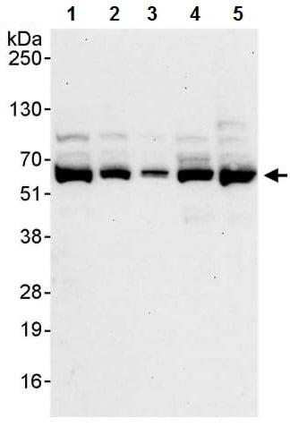 Western blot - Anti-SF3A3 antibody (ab224814)