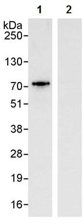 Immunoprecipitation - Anti-TDP1 antibody (ab224822)