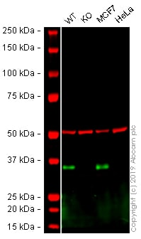 Western blot - Anti-EpCAM antibody [4A7] - C-terminal (ab224826)