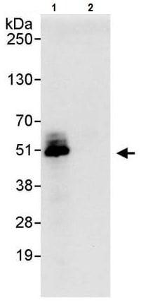 Immunoprecipitation - Anti-Cdc37 antibody (ab224831)