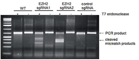 SDS-PAGE - Recombinant <em>S. pyogenes</em> CRISPR-Cas9 protein (ab224892)
