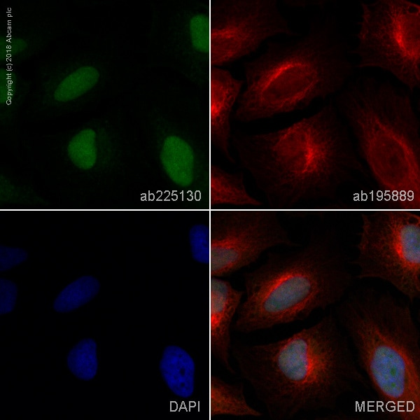 Immunocytochemistry/ Immunofluorescence - Anti-FRA1 antibody [EP4711] (Alexa Fluor® 488) (ab225130)