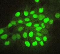 Immunocytochemistry/ Immunofluorescence - Anti-p53 antibody [E26] - BSA and Azide free (ab225531)