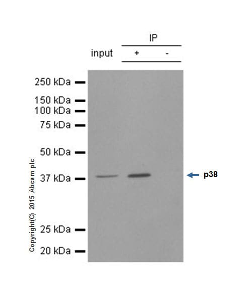 Immunoprecipitation - Anti-p38 antibody [E229] - BSA and Azide free (ab225534)