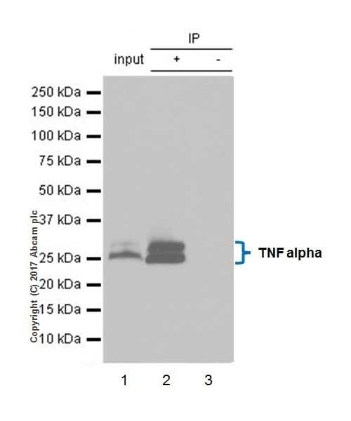 Immunoprecipitation - Anti-TNF alpha antibody [EPR20972] - BSA and Azide free (ab225576)
