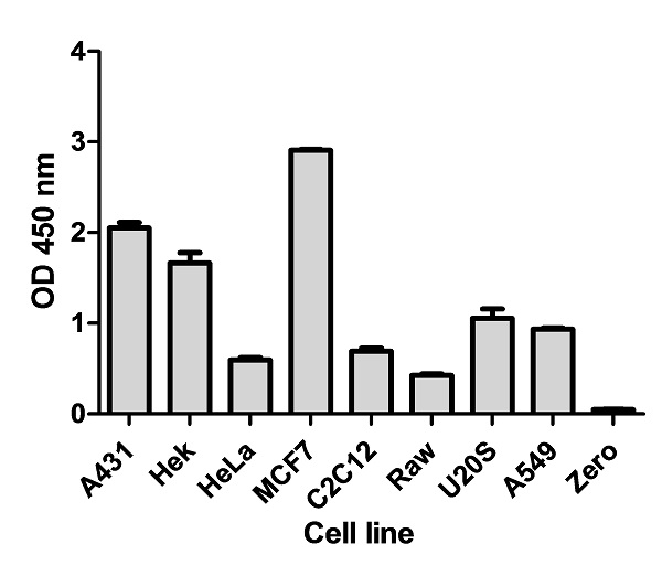 Cell line analysis for Total p70S6K from 100 µg/mL preparations of cell extracts