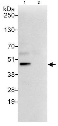 Immunoprecipitation - Anti-DAP3 antibody (ab225622)