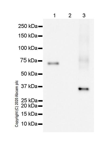 Western blot - Anti-HLA Class 1 ABC antibody [EPR22172] (ab225636)