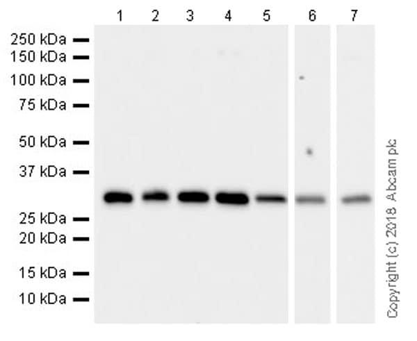 Western blot - Anti-RPS6 antibody [EPR22168] (ab225676)