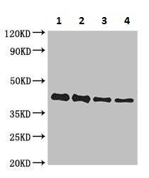 Western blot - Anti-Pre-small/secreted glycoprotein antibody (ab225680)