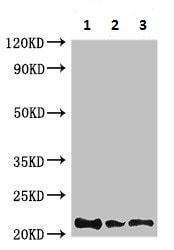 Western blot - Anti-Rubredoxin antibody (ab225688)