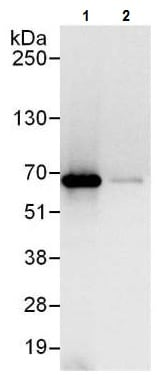 Immunoprecipitation - Anti-TCP1 alpha/CCTA antibody (ab225695)